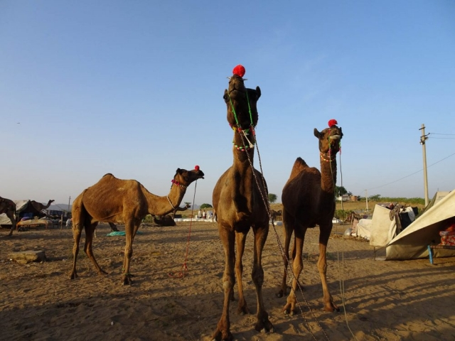 1023_Pushkar-camel-fair-3.jpg