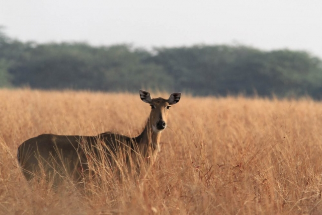 1107_Velavadar-safari-14.jpg