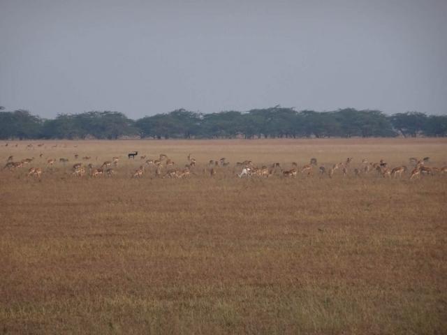1107_Velavadar-safari-5.jpg