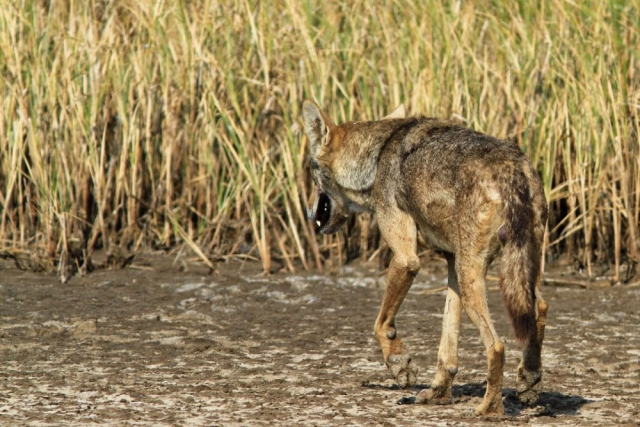 1107_Velavadar_Indian-Grey-Wolf-14.jpg