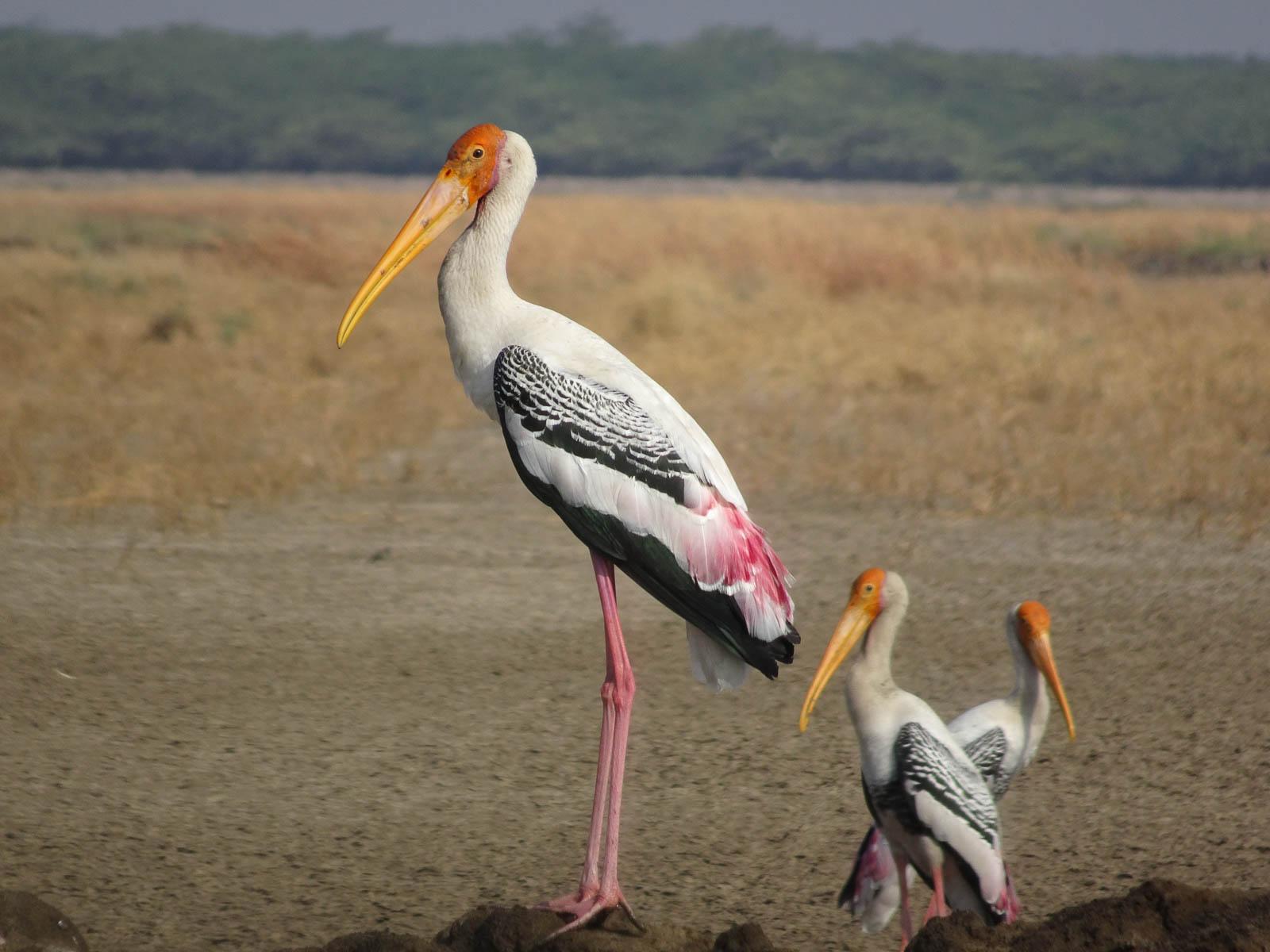 1107_Velavadar_Painted-Stork-1.jpg