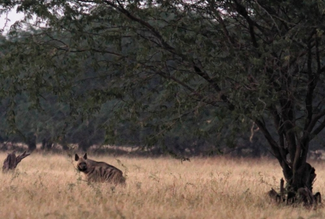 1107_Velavadar_Striped-Hyena-16.jpg