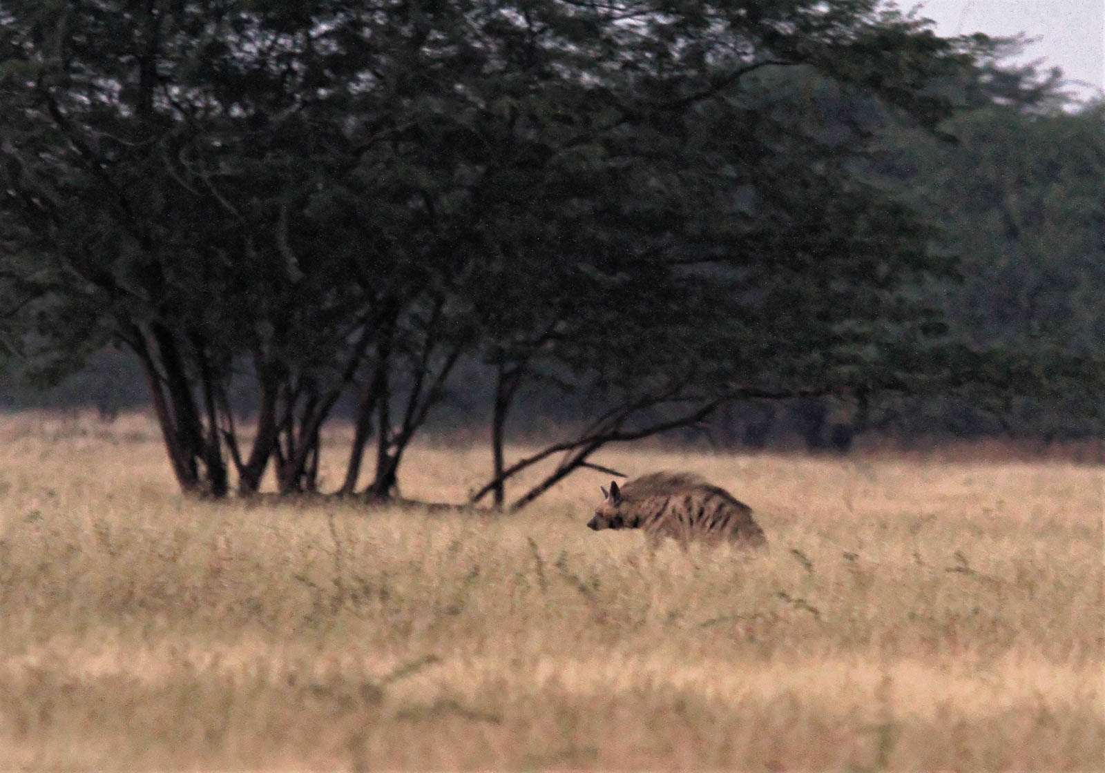 1107_Velavadar_Striped-Hyena-23.jpg