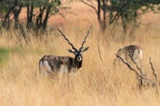 1107_Velavadar-safari-17.jpg