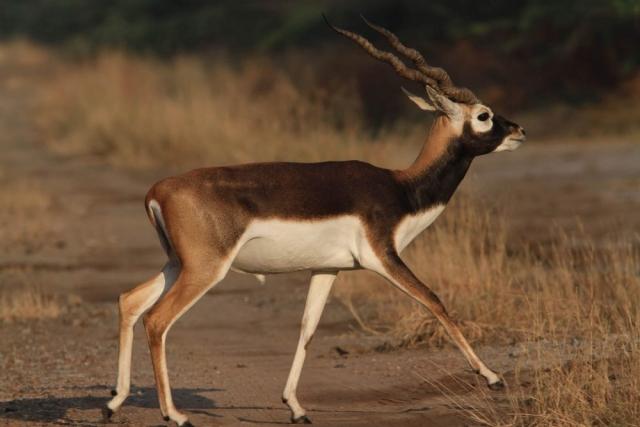 1107_Velavadar-safari-20.jpg