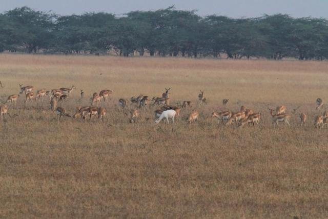 1107_Velavadar-safari-6.jpg