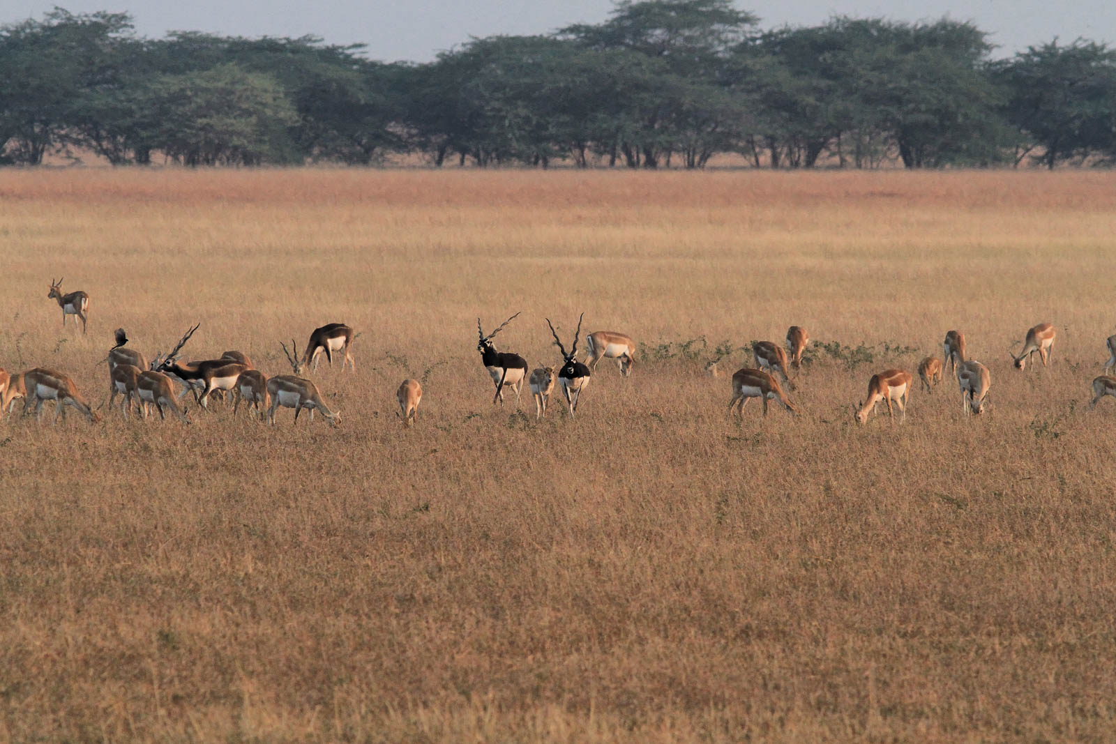 1107_Velavadar-safari-7.jpg