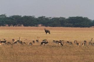 1107_Velavadar-safari-8.jpg