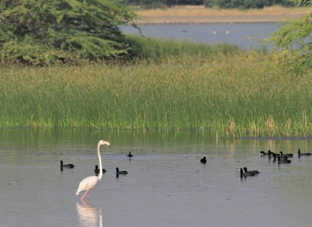 1107_Velavadar_Flamingo-2.jpg