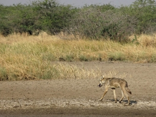 1107_Velavadar_Indian-Grey-Wolf-21.jpg