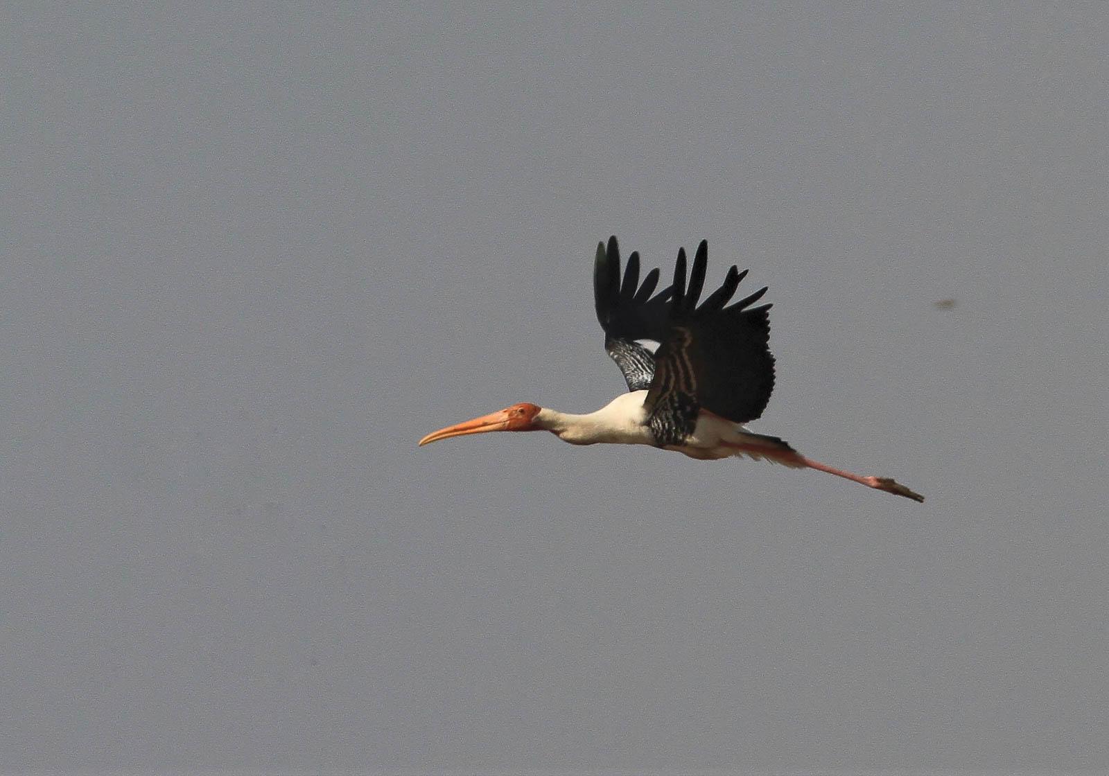 1107_Velavadar_Painted-Stork-30.jpg